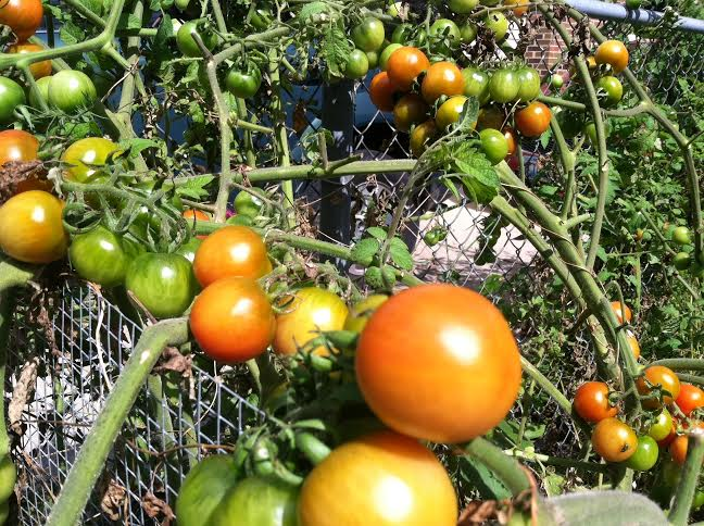tomatoes endless tomatoes