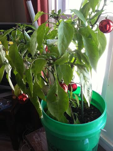 jalapeno christmas tree
