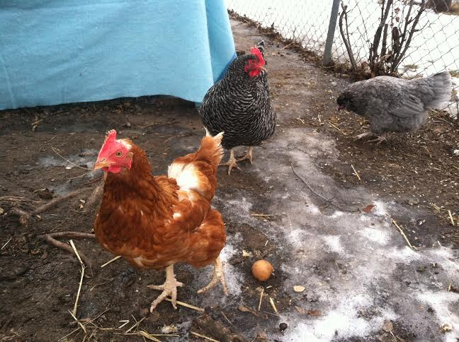 chickens on ice