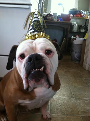 bulldog bday hat