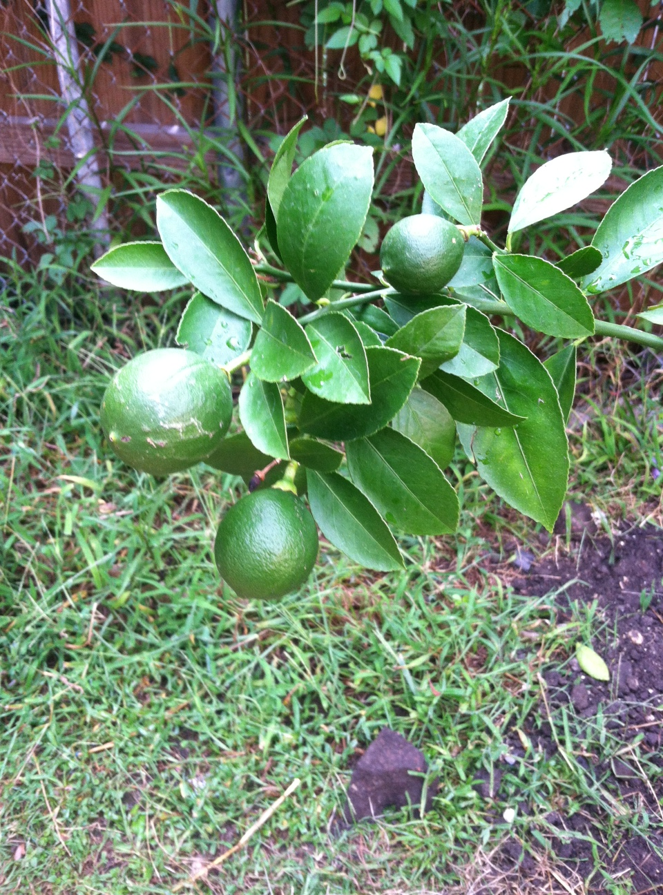 buckwheat bread with lemon and lime trees u2013 bake this day our